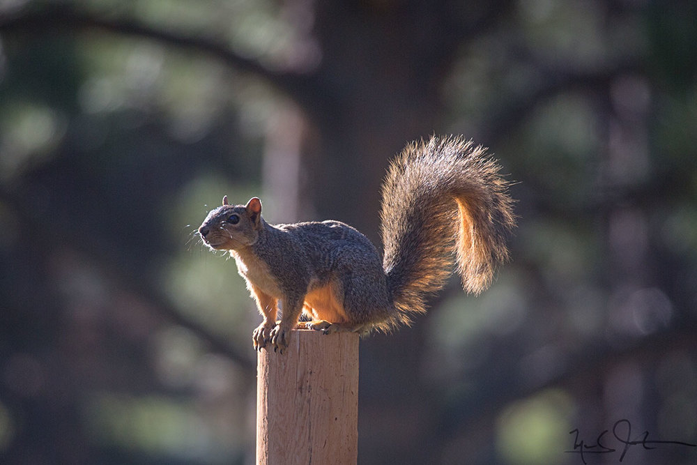 American red squirrel  [ Tamiasciurus hudsonicus] .