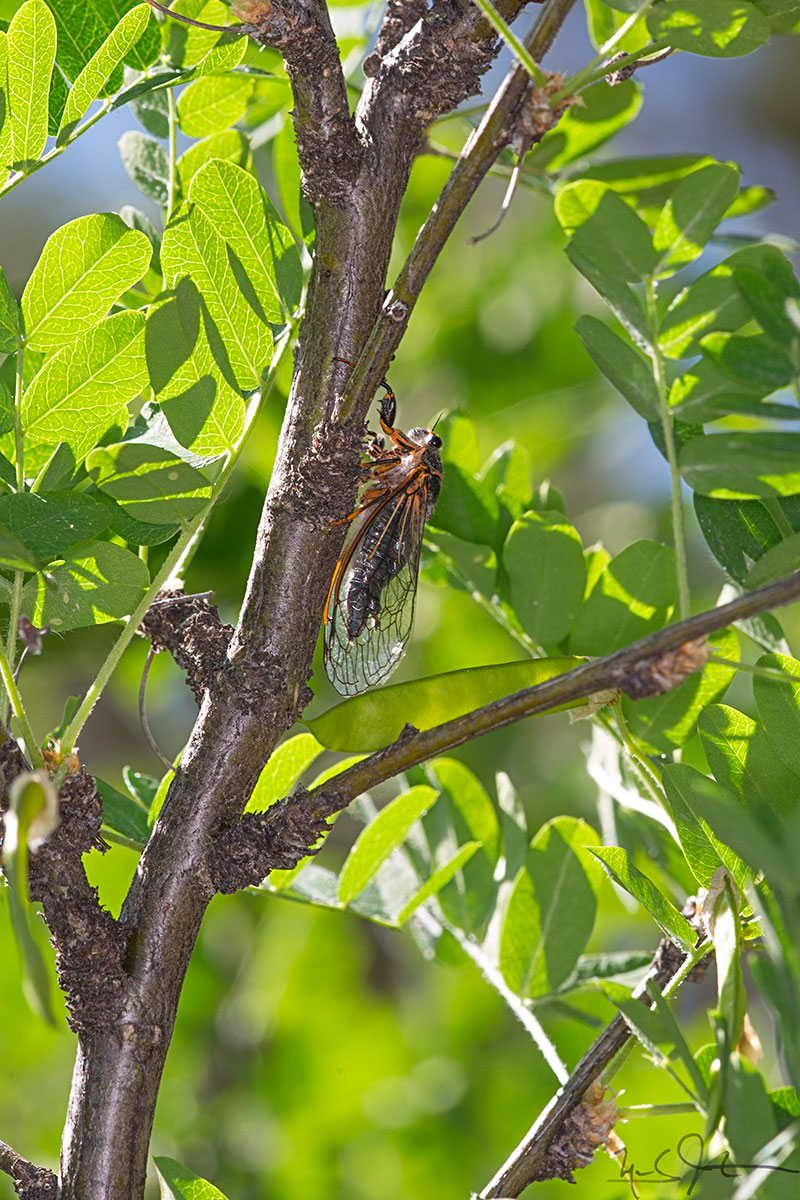 These cicadas use their wings to make a distinct snapping or clacking sound high in the trees.