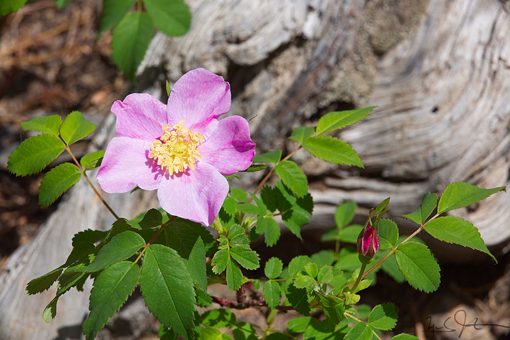 Wild rose in bloom.