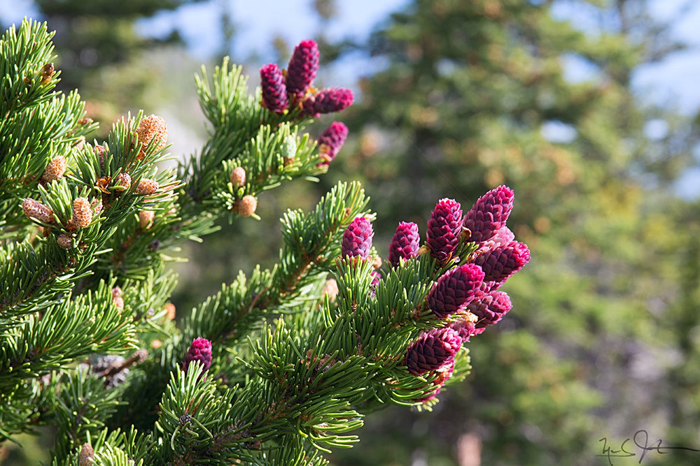 New fruit on a conifer.