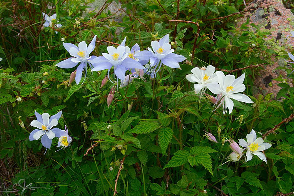 Columbine blossoms in blue and white.