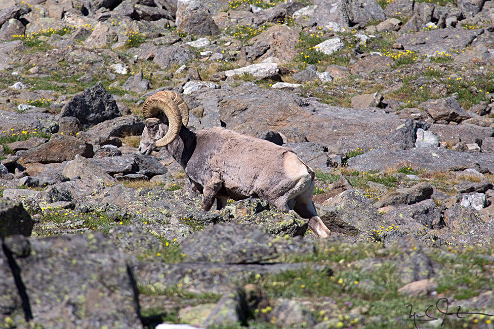 A Bighorn ram forages above the tree line.