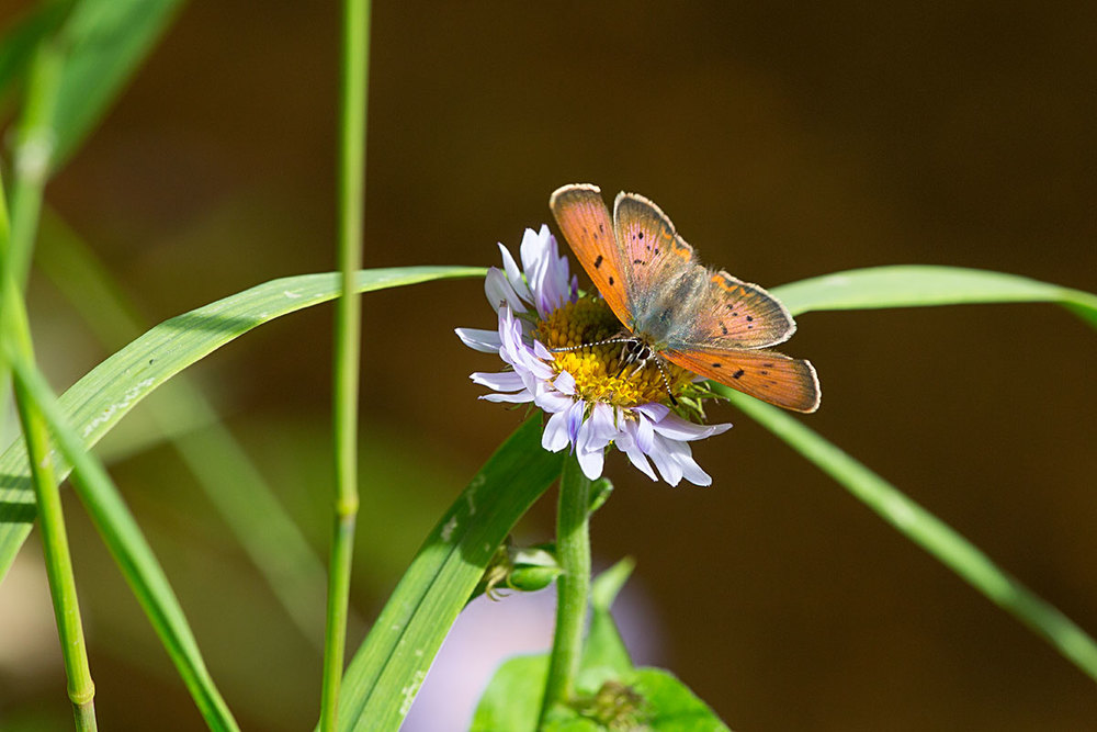 A member of the Copper family - perhaps  Lycaena helloides , the Purplish Copper.