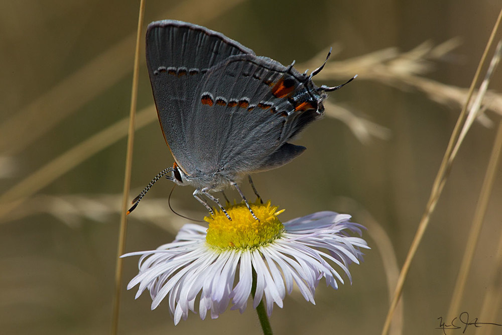 Strymon melinus , the Gray Hairstreak.