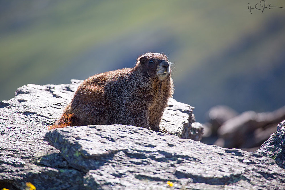 Yellow-bellied Marmot.