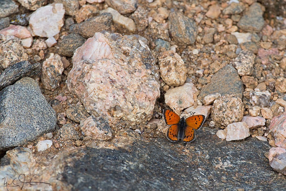 A Lustrous Copper, Lycaena cupreus, a denizen of the Alpine Zone.