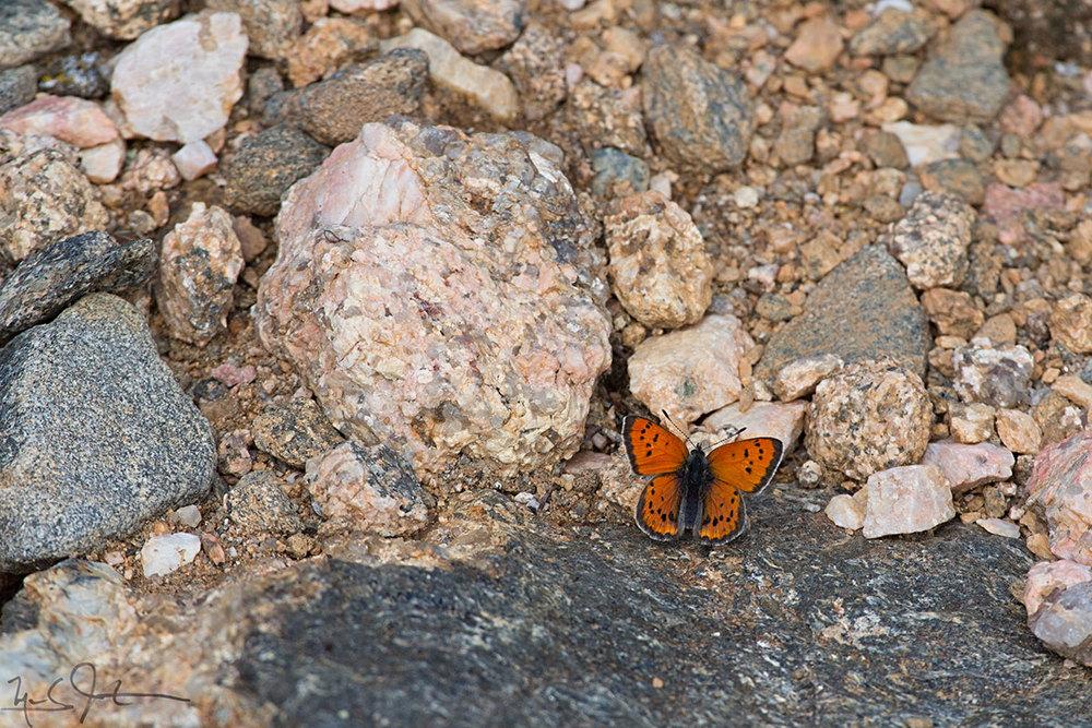 A Lustrous Copper,  Lycaena cupreus , a denizen of the Alpine Zone.