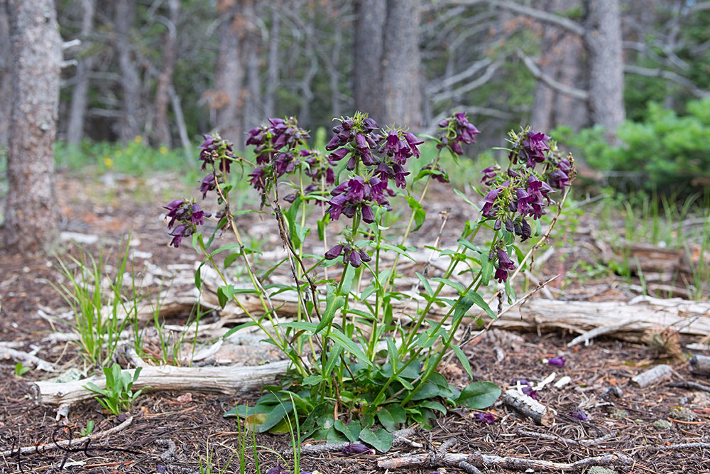 Whipple's Penstemon, Penstemon whippleanus.