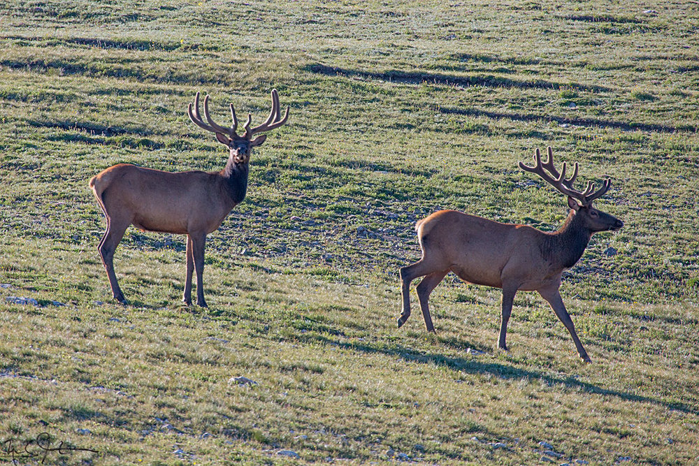 A pair of bull elk, up high above the Summer heat.