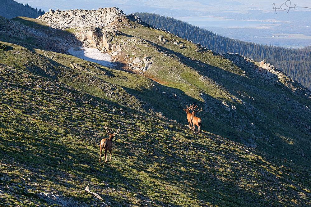 Bull elk catch some early morning sun.