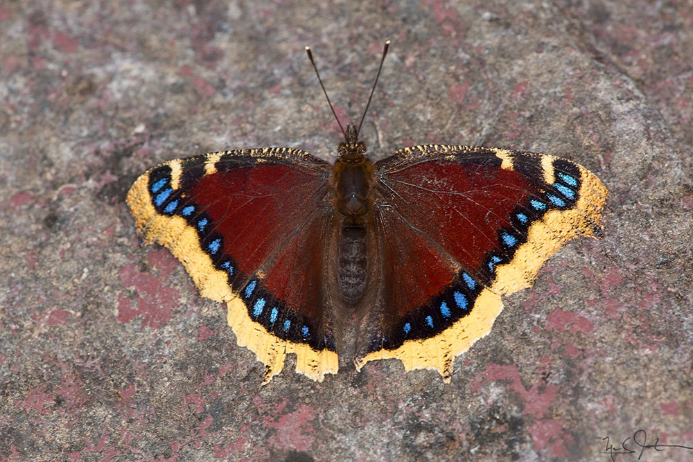 "Nymphalis antiopa , common name ""Mourning Cloak""."