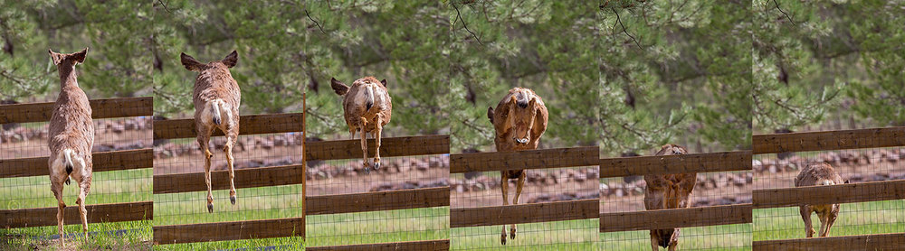 See ya! Deer can easily clear a six-foot high fence from a standing start.