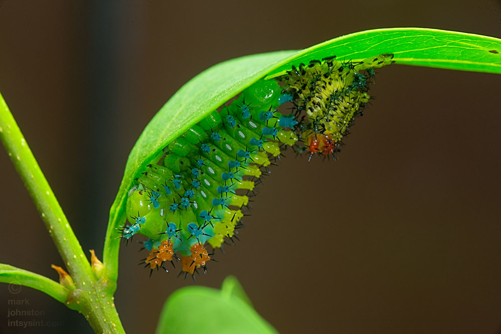 Thirty-one days after hatching, this caterpillar has just become fourth instar. The area surrounding the spiracles on the sides through which the caterpillar respires have turned white and there are other subtle changes in color and appearance.