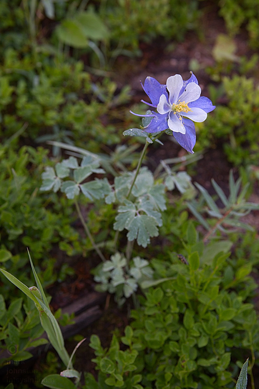Blue Columbine, Aquilegia caerulea, state flower of Colorado.