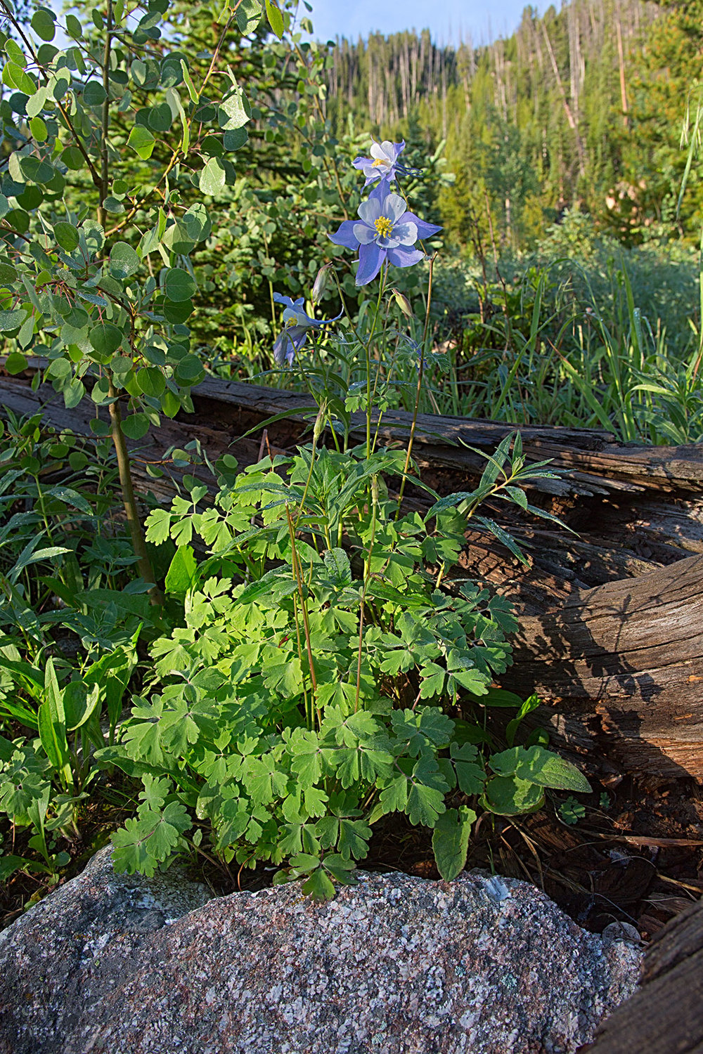 Blue Columbine, Aquilegia caerulea, state flower of Colorado.