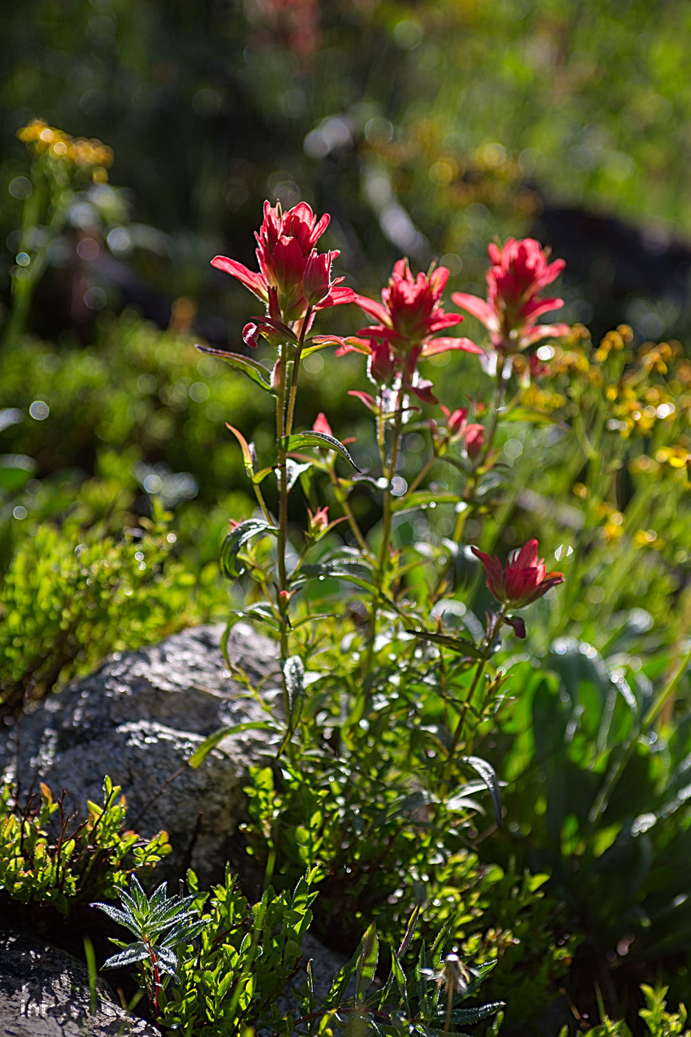 Indian Paintbrush,  Castilleja integra.