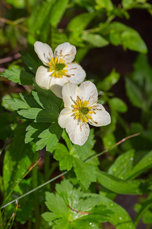 American Globeflower [buttercup family],  Trollius laxus .