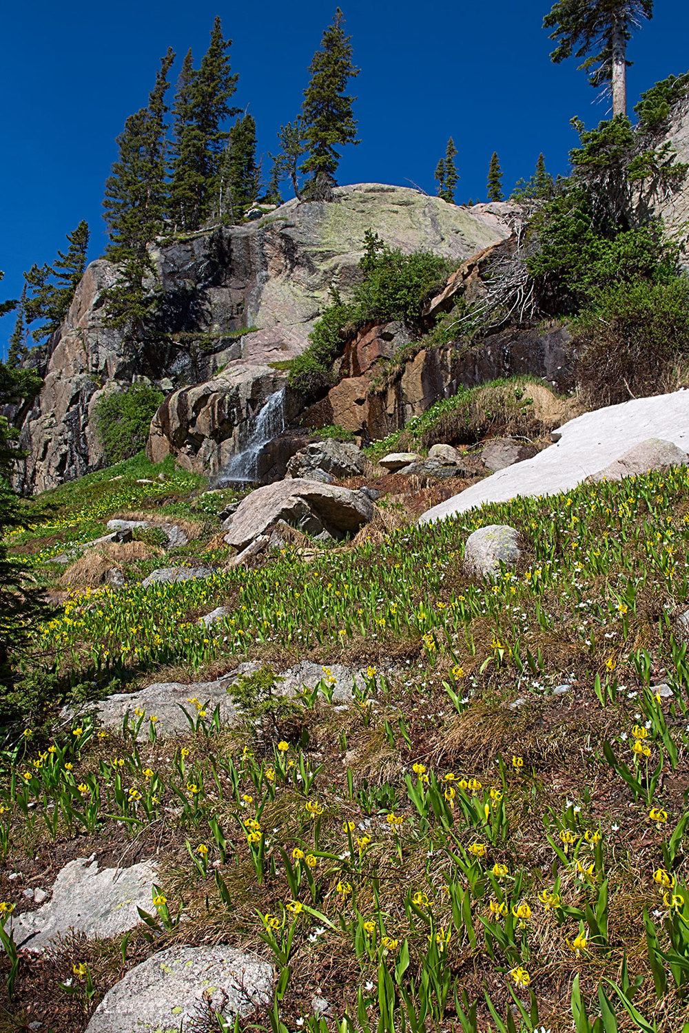 Lots of Glacier Lilies in bloom at around 10,000 feet.