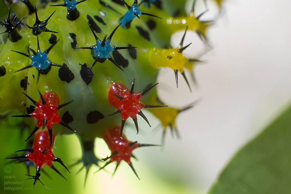 Close up of the scoli near the head of a 3rd instar caterpillar showing the colored scoli.