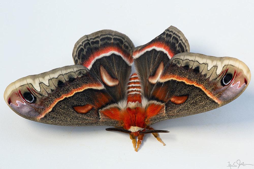 Male Cecropia moth in all his glory.