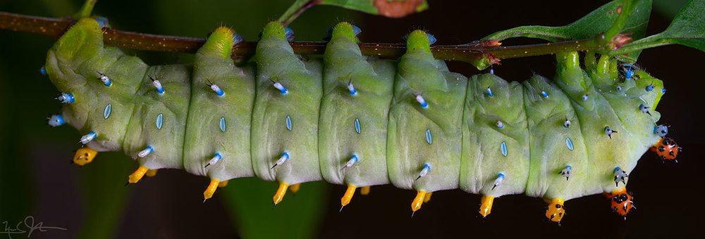 Fifth instar caterpillar the Cecropia moth [5th instar means the caterpillar has molted 4 times].