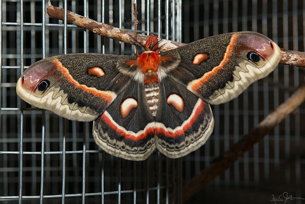 Adult female Cecropia moth.