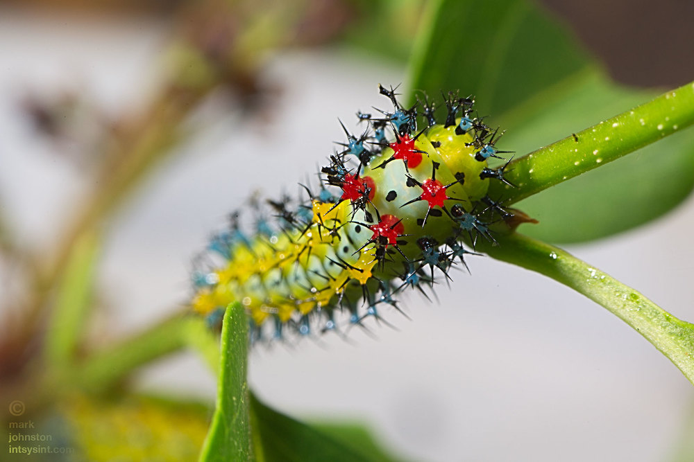 4th instar caterpillar