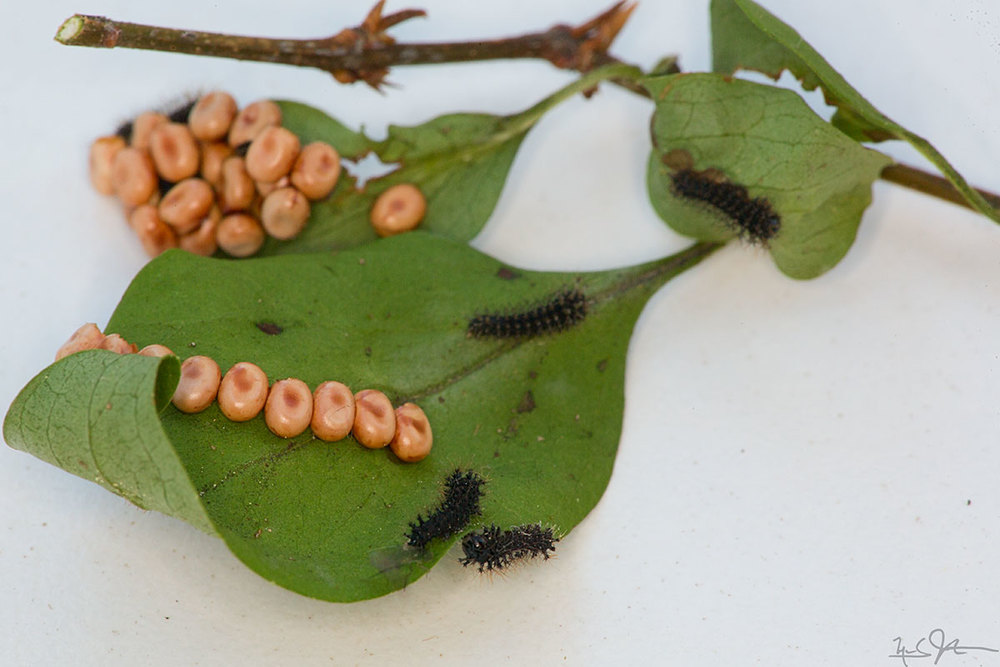 Clutches of eggs on lilac leaves and hatchling caterpillars.