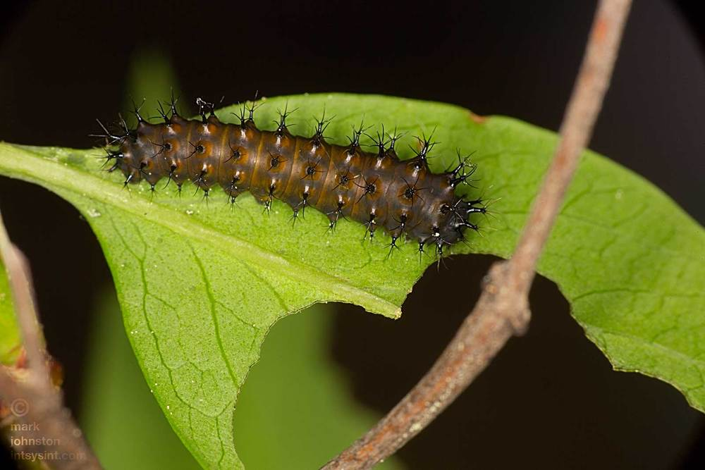 1st instar caterpillar, just before 1st molt to 2nd instar - about 9 days old.