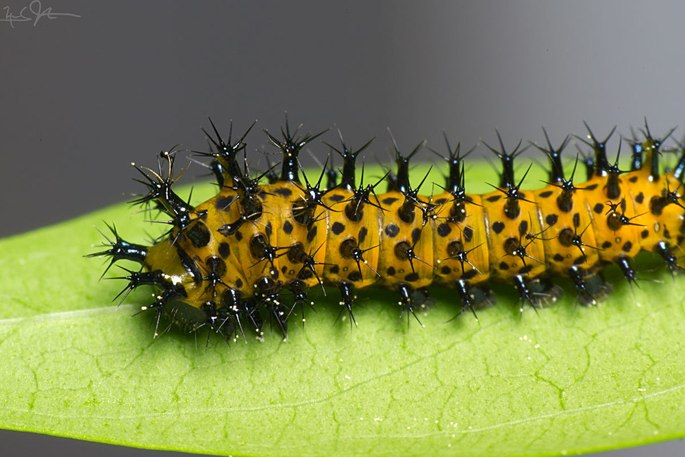 2nd instar caterpillar, about 12 days old.