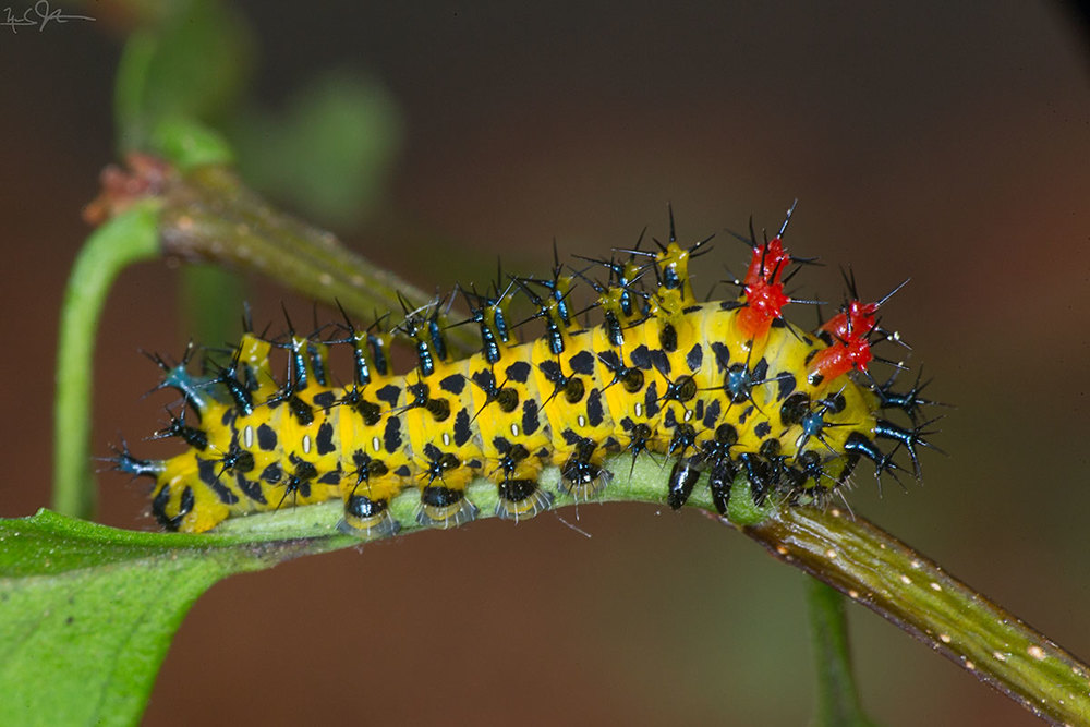 3rd instar caterpillar - typical appearance.