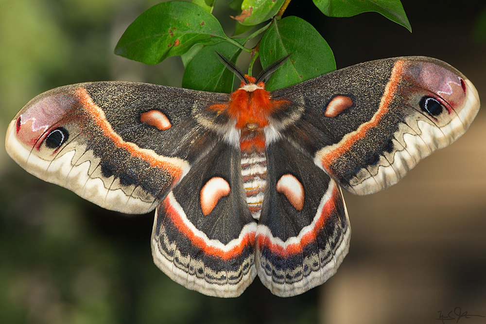 Adult Cecropia moth,  Hyalophora cecropia  - one of North America's largest moths, with a wingspan of around eight inches.