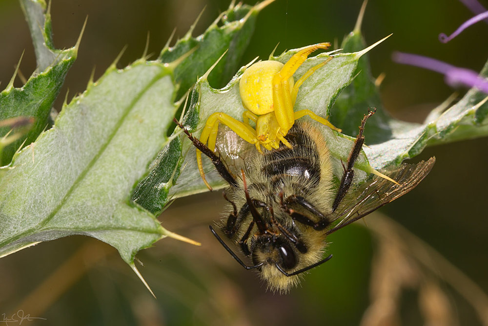 Flower spider captures honey bee.