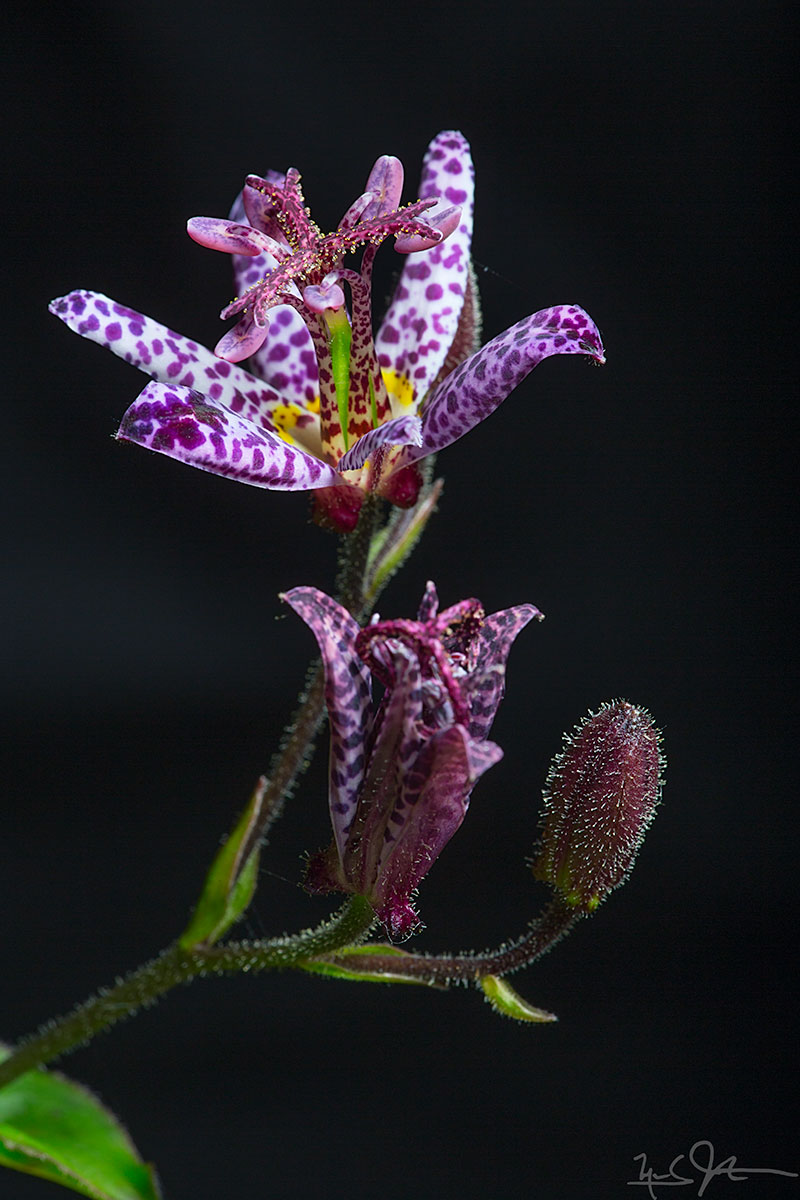 Japanese toad lily - one of the most amazing looking flowers.  Happy Valentine's Day.