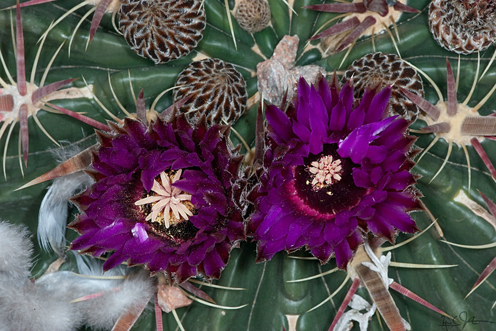 Barrel cactus in bloom.