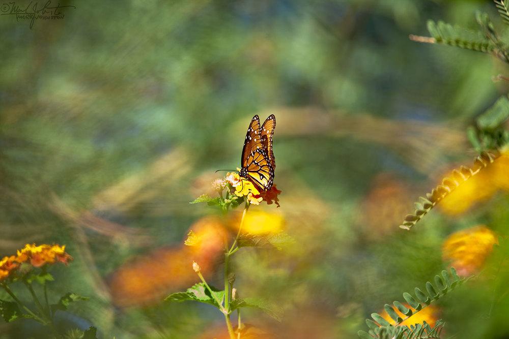 Monarch butterfly on lantana.