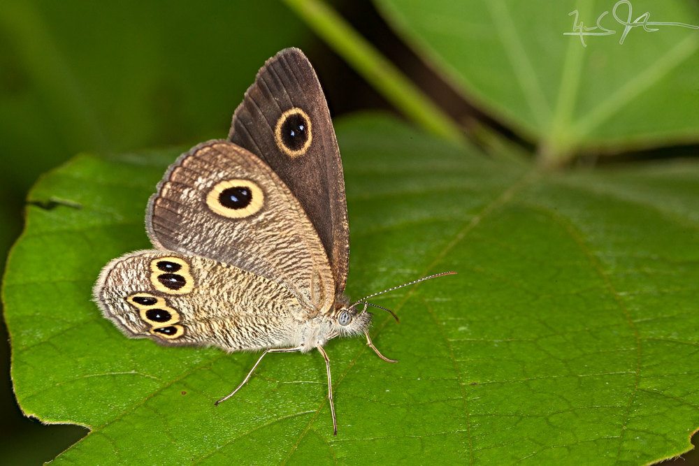 """A member of the  Ypthima  genus of so-called """"brush-footed butterflies"""" [family  Nymphalidae ]. A characteristic of these butterflies is their behavior of keeping one pair of legs curled up to their body, giving them the appearance of having four legs rather than six."""