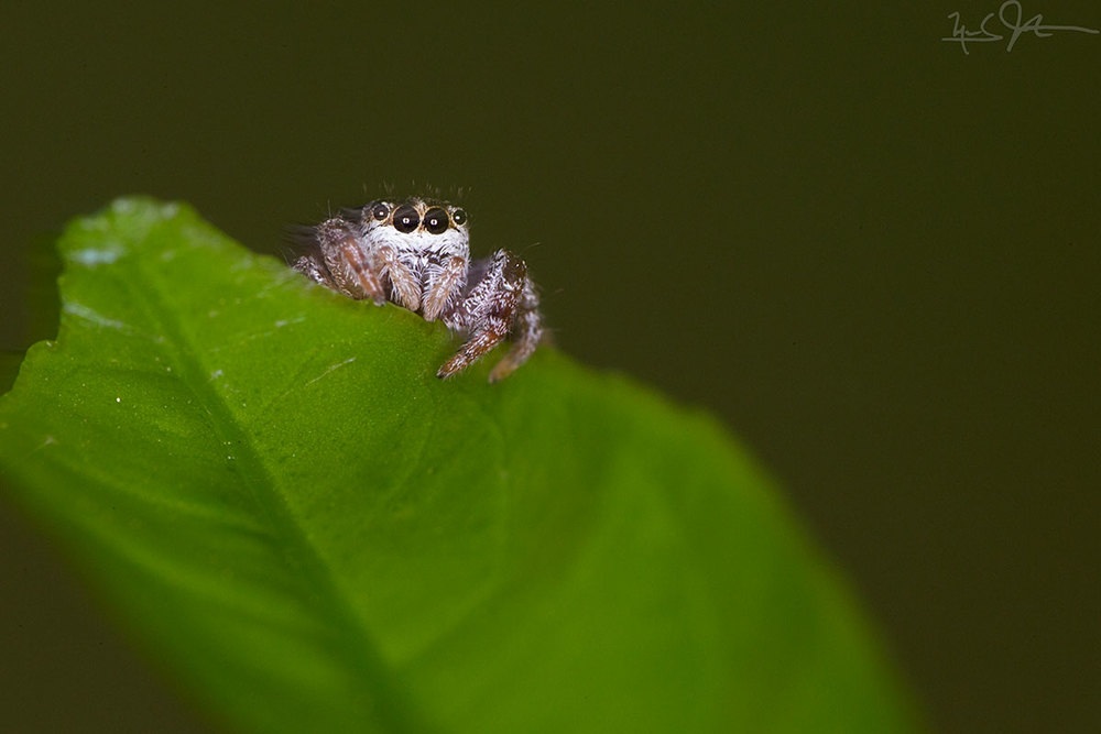 Jumping spider.  Smaller than your fingernail.