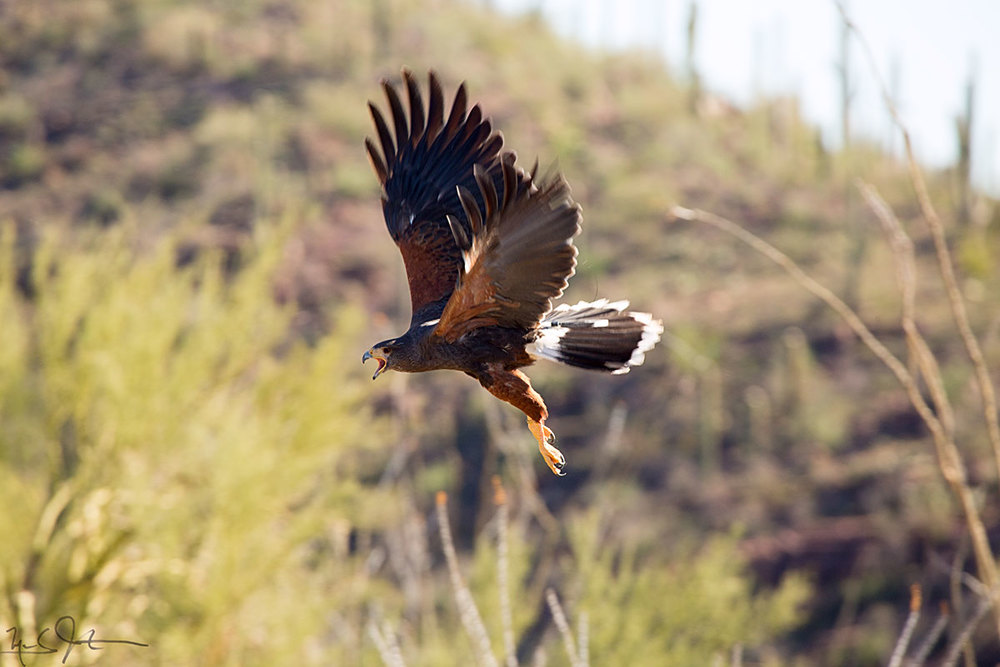 Harris Hawk,  Parabuteo unicinctus , one of the only raptors that hunts in family groups.