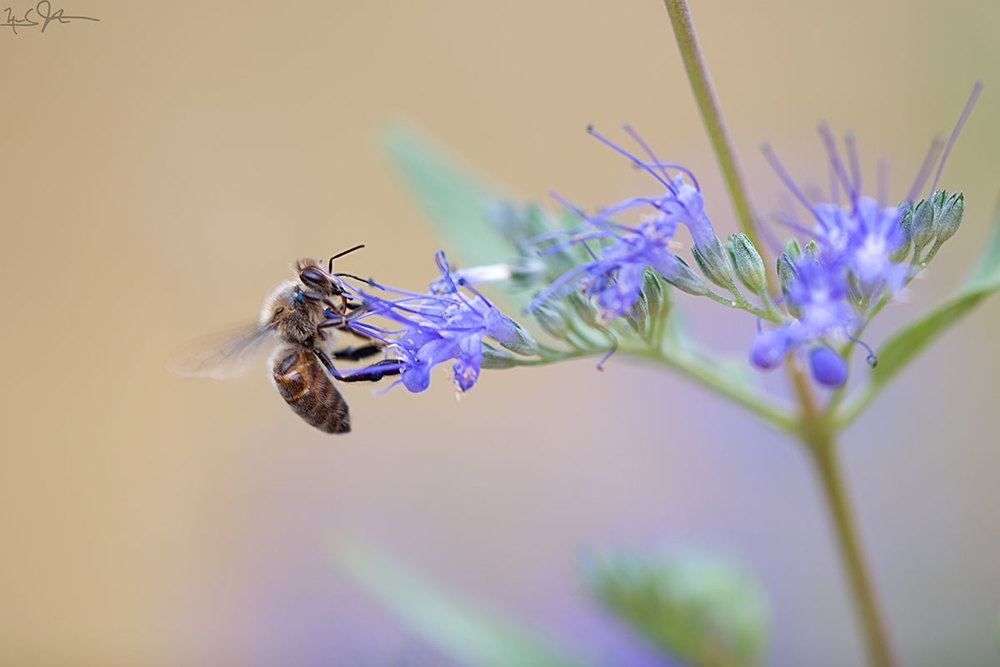 Honeybee on sage.