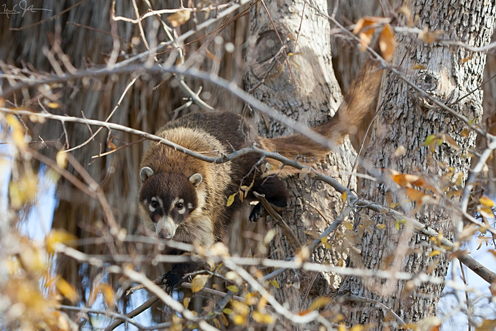 Coati mundi, ring-tailed coati,    Nasua nasua , looks down from a perch in a cottonwood tree.