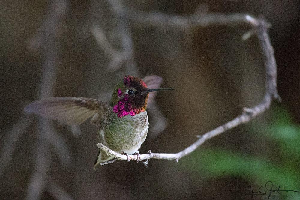 Annas Hummingbird,  Calypte anna .