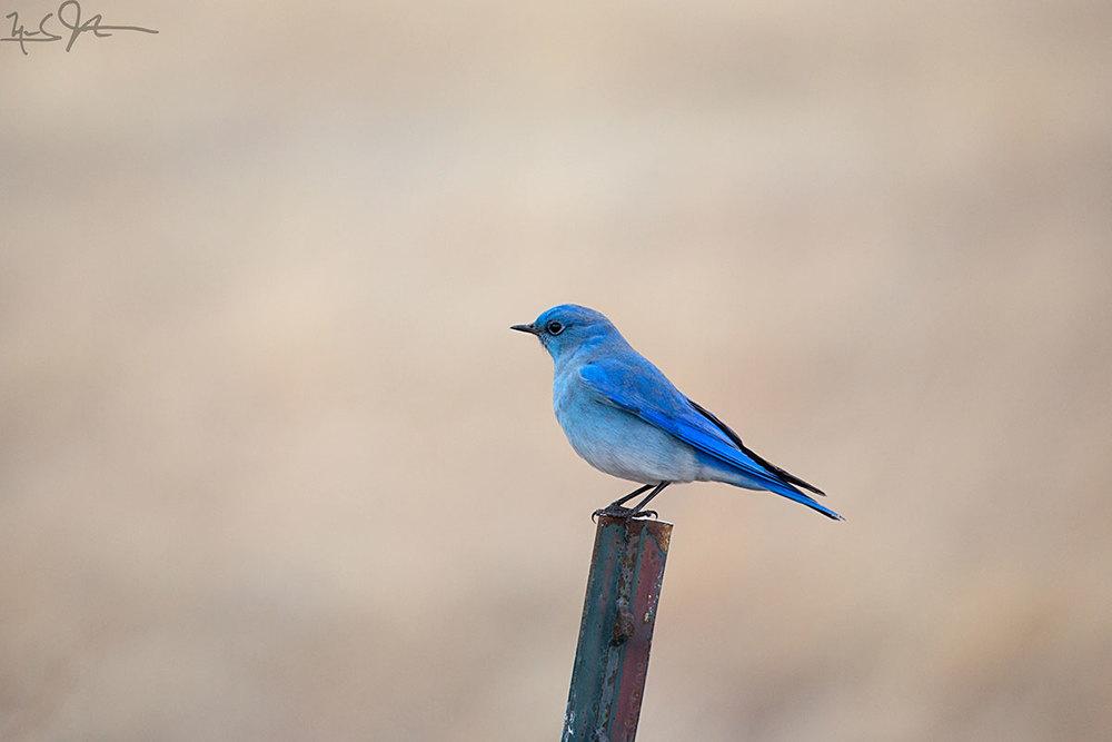 Mountain Bluebird,  Sialia curricoides , the more common species in Colorado mountain country.