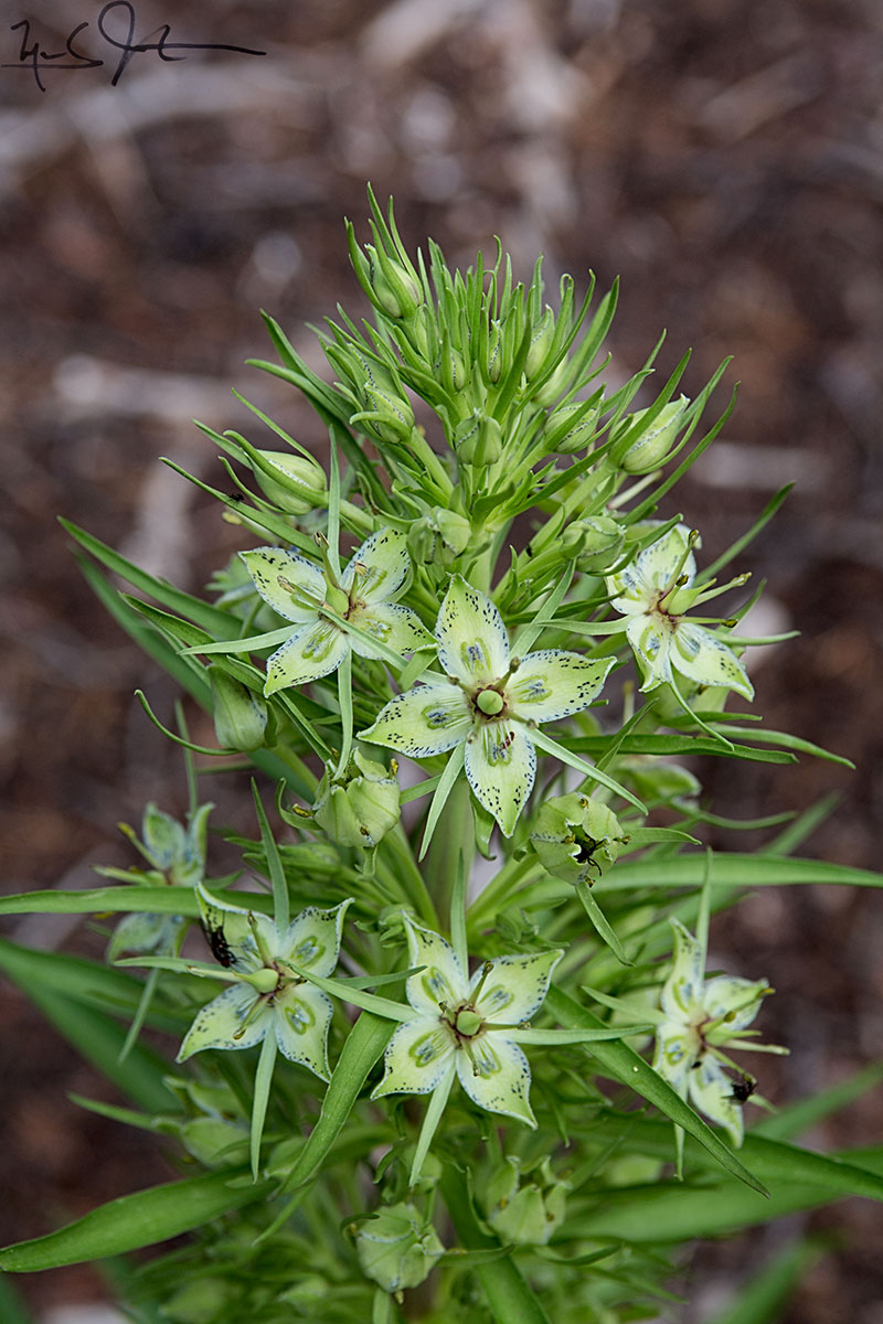 Elkweed or Green gentian,  Frasera speciosa .