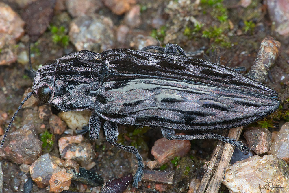 """A """"click beetle"""", probably of the family  Elateridae  or  Eucnemidae ."""