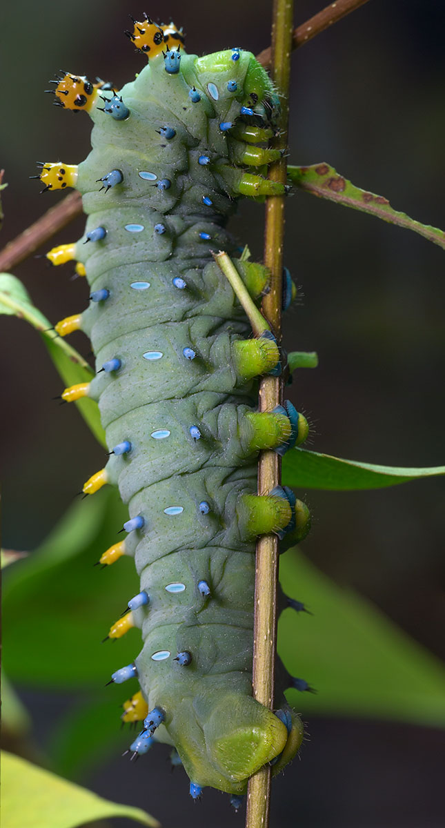 The caterpillar of Hyalophora cecropia, the Cecropia moth, one of North America's largest moths.
