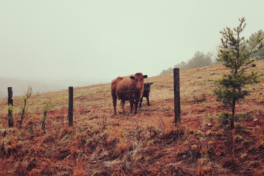 Cow + Baby, Nc .jpg