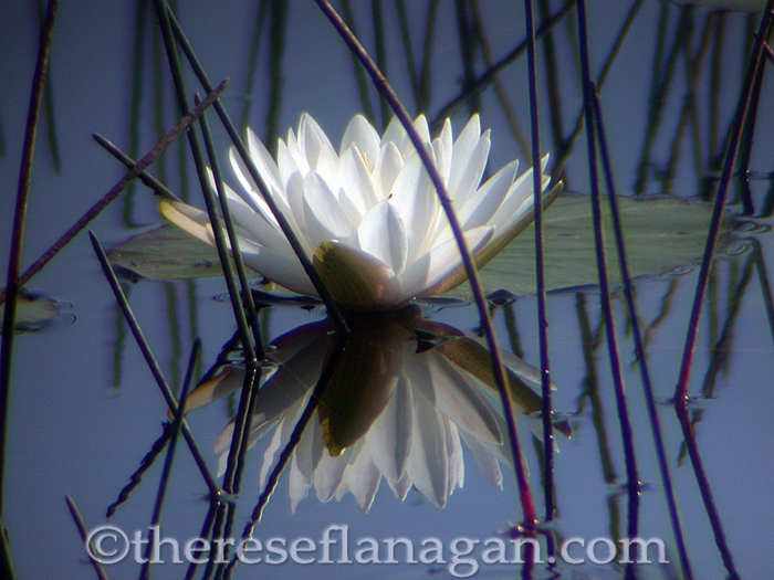 On Reflection - Water Lily