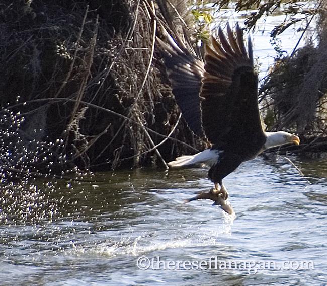 Eagle Snags a Fish