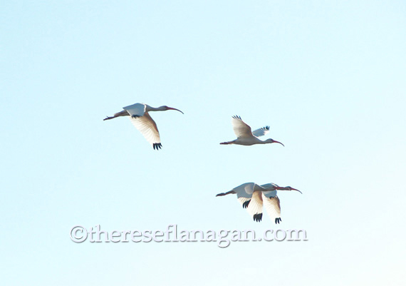 4 ibises in flight.jpg